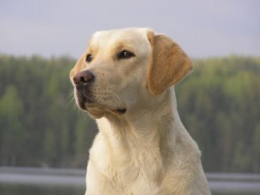 Labrador_Retriever_4922645